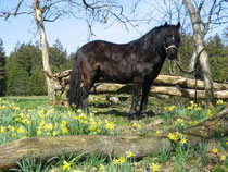 Dartmoor-Pony Cid
