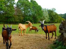 Ziegenherde vom Ferienhof Vennhof / Eifel