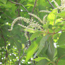 white flower tree Japan