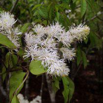 春に白い花が咲く木