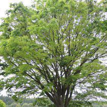 伸びるのが早い木