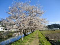 配達で見かけた満開の桜並木