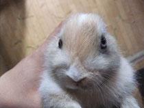 ミニウサギ ミケ