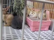 子うさぎ ミニレッキス ミニウサギ