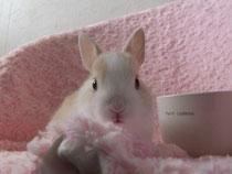 ミニウサギ こゆき 子うさぎ