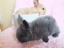 2013.3.4.ミニウサギ