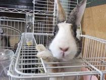 迷子 ミニウサギ チャコ