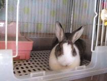 ミニウサギ サラ