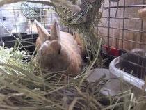 ミニウサギ スカイ