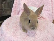 2013.3.4 ミニウサギ