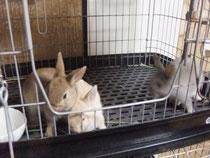 ミニウサギ こまめ 子うさぎ