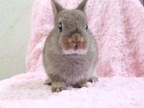 ネザーランドドワーフ ショコラの子ウサギ