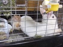 ミニウサギ こゆき ミケ