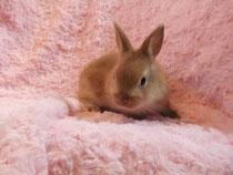 ミニウサギ 小梅 子うさぎ