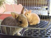 ミニウサギ 2013.6.30