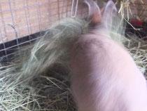 ミニウサギ 小麦