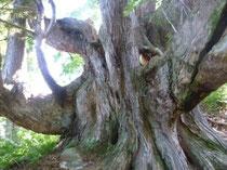 立派な立山杉