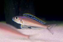 Xenotilapia bathyphilus 'Congo'