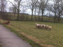 Aston bij de schapen.