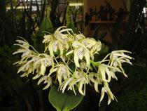 Dendrobium (Den.)デンドロビューム属