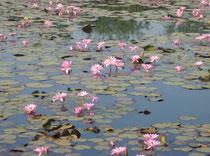 インドのいたる所で見られる蓮華の花