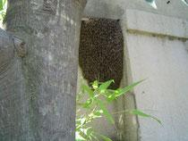 250513分蜂群搬入