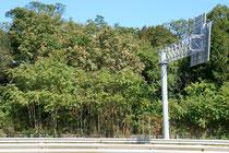 Trees-of-Heaven along Rte. 2