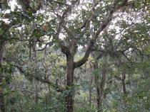 """Chênes à lichen prêt du """"descanso"""""""