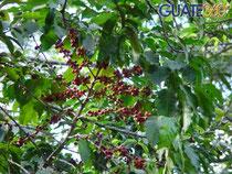 Arbre de café avec ses fruits