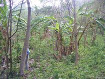 Plantation de café avant le premier grand nettoyage annuel