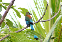 L'oiseau national du Nicaragua : le guardabarranco