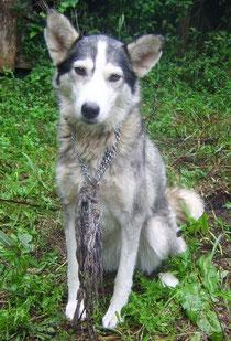 Adottati Siberian Husky Rescue Italia Siberian Husky E Cani