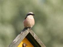 Viele Vogelarten wie der Neuntöter profitieren vom Insektenreichtum extensiver  Weideflächen - Foto: O.Klose