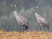 Regelmäßiger Brutvogel: Der Kranich - Foto: O.Klose