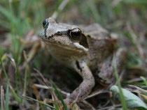Auch der Grasfrosch wird von den neuen Gewässern profitieren -  Foto: O.Klose