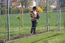 kiwipflanzung