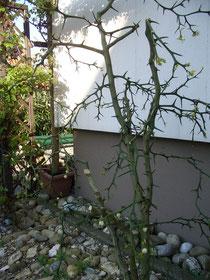 Poncirus trifoliata Hauswestseite