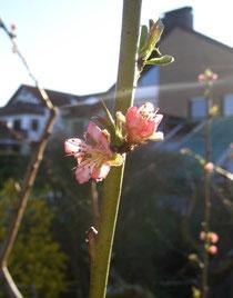 Pfirsichblüte 2. April 2011 anklicken