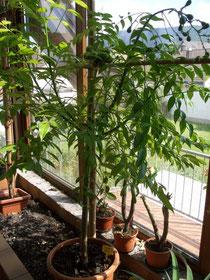 Junge fruchtende Spondias Pinnatapflanze