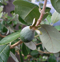 Feijoa (Acca selowiana) oder Ananasguave