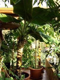 Vordergrund fruchtende Bananenstaude