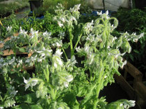 Borago officinalis 'Alba'