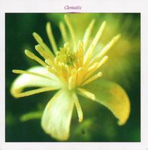 Clematis (Clématite en français)