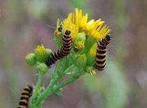 Raupe des Tyria jacobaea / Bild zum Vergrößern anklicken