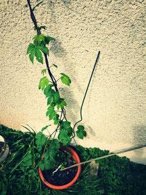 Hopfenpflanze