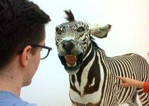 Viehisch: Ein Tigerzebra, Paul war furchtlos. Mehr Fotos unten in der Galerie.