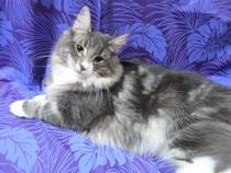 ノルウェーの森の猫 (ノルウェージャンフォレストキャット)