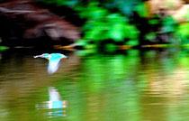 カワセミの流し撮り photo by 白鳥保美