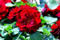 薔薇    photo by  白鳥保美