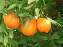 L'orange « moderne » contient cinq fois moins de fer ! Et pareil pour les pêches